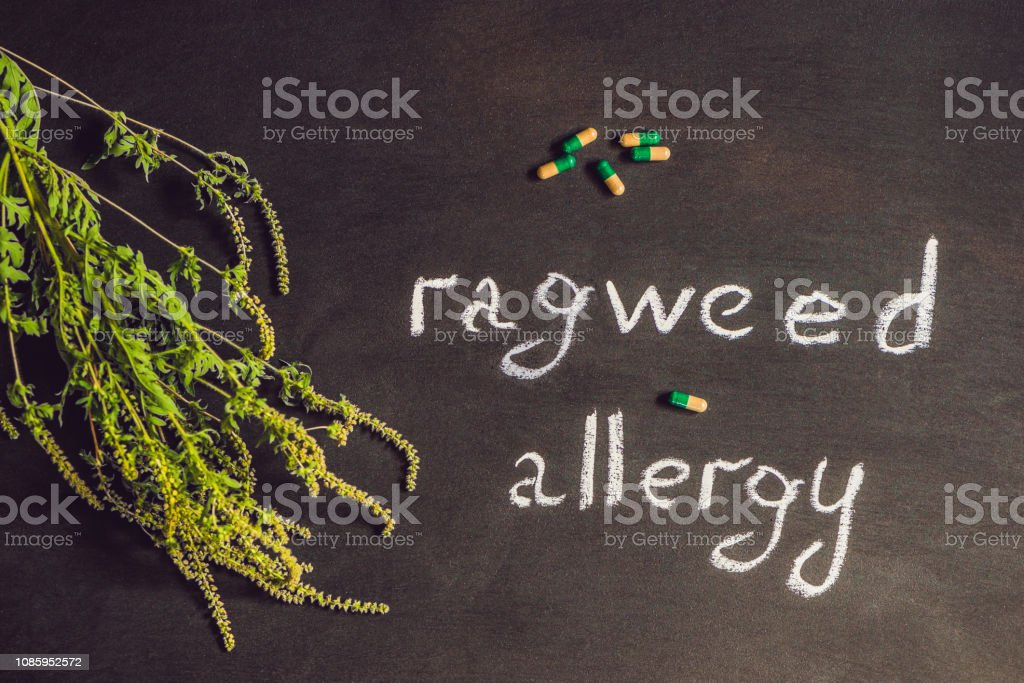 Ambrosia, medical mask, allergy tablets. Allergy to ambrosia concept