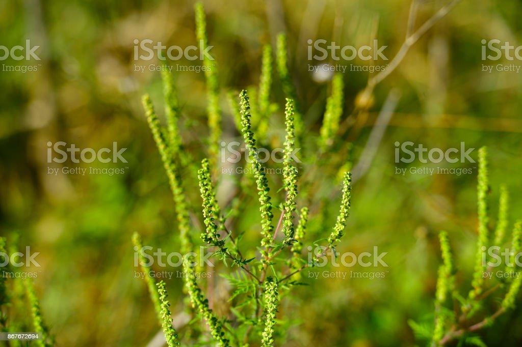 Ambrosia plant causes ragweed allergy – zdjęcie
