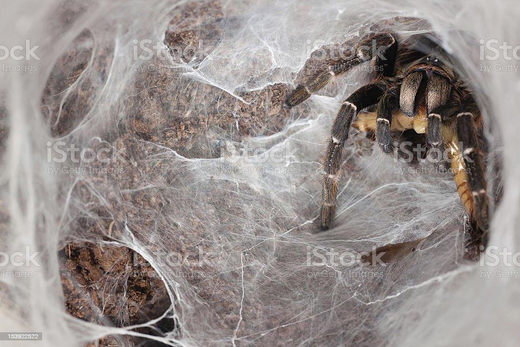 Ambush Tarantula royalty-free stock photo