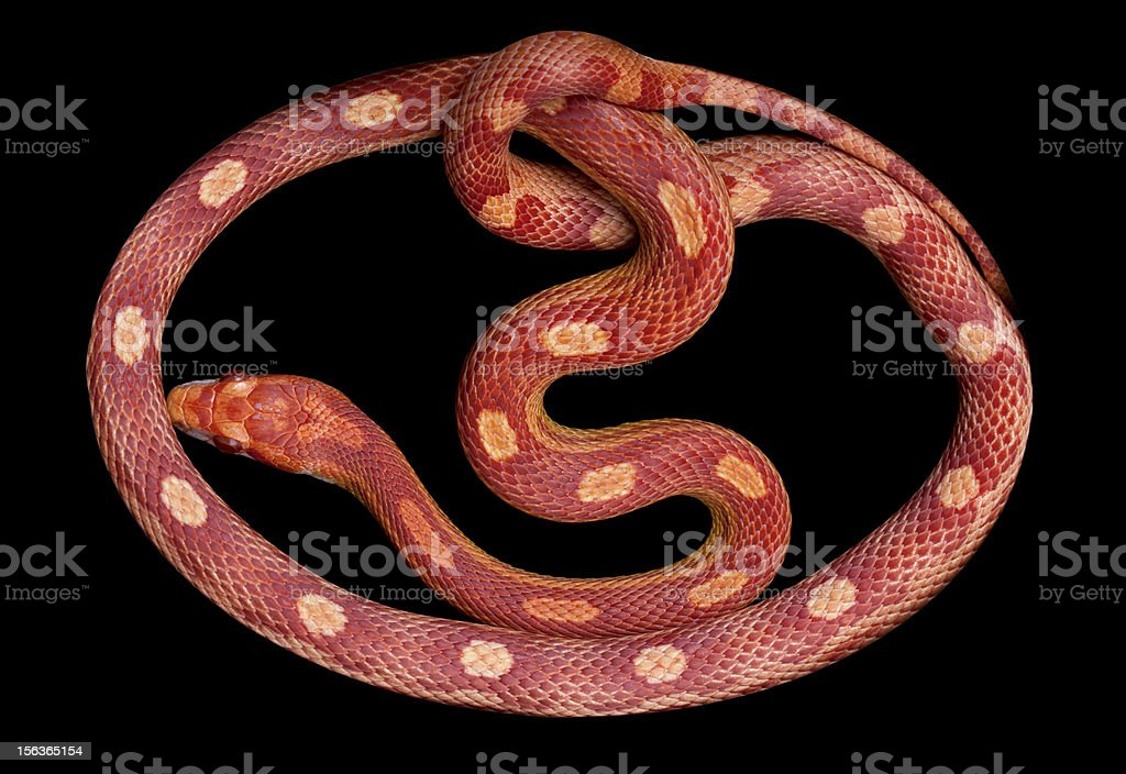 Amel Motley Corn snake stock photo