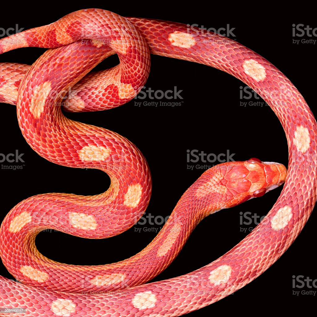 Amel Motley Corn Snake Stock Photo & More Pictures of Animal