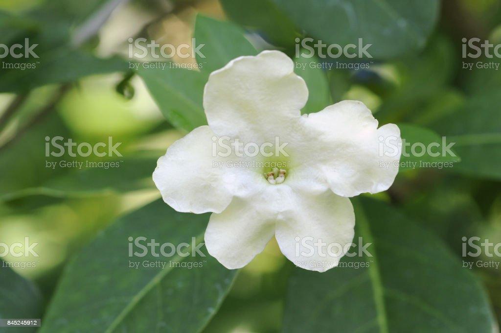 Ameligabanmazri flowers stock photo