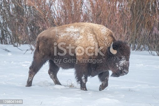 Yellowstone blizzard with bison (buffalo) seeking shelter from high wind.