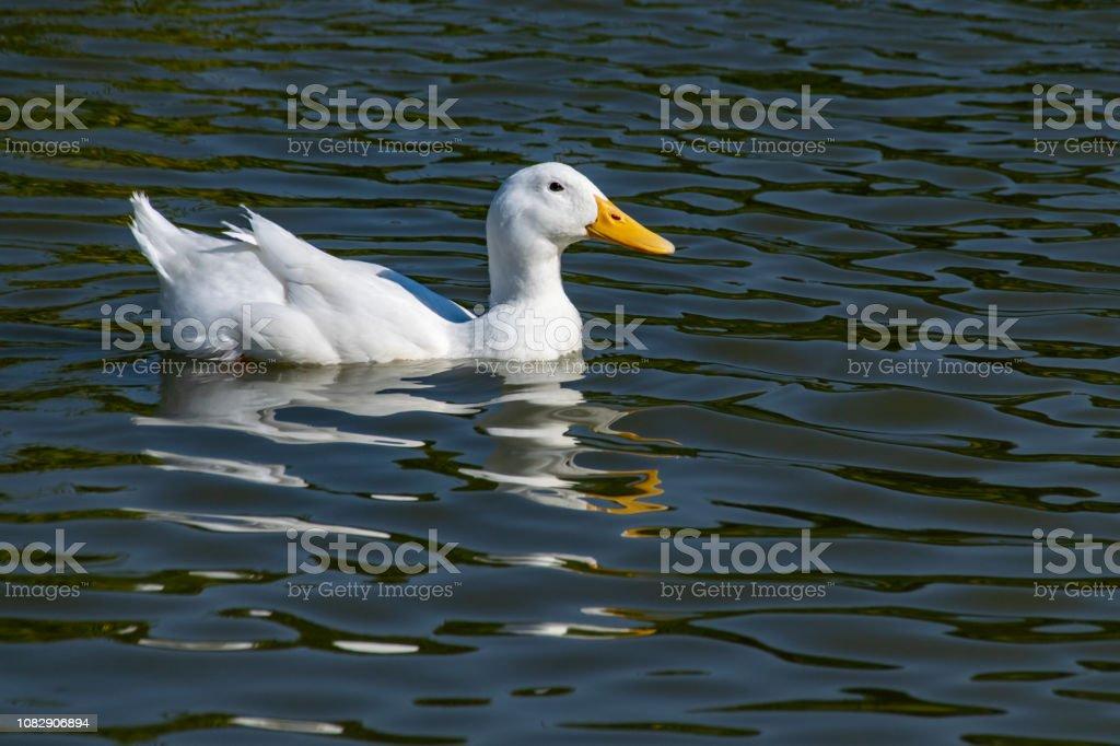America Pekin Duck (Anas platyrhynchos domesticus) swimming on lake with reflection stock photo