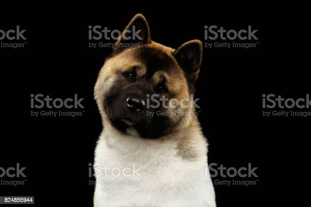 American akita portrait picture id824855944?b=1&k=6&m=824855944&s=612x612&h=u ja umwp8gkh npcv4ztghwyqrebf8jkvzmdbvv0vc=