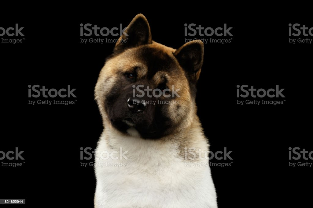 American Akita Portrait stock photo
