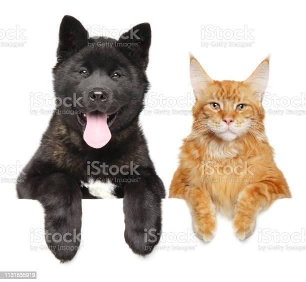 American akita puppy and maine coon cat together picture id1131535919?b=1&k=6&m=1131535919&s=612x612&h=jodsxobltvuc723q7j1wwwp891rj5z4 lifa2uuwoqu=