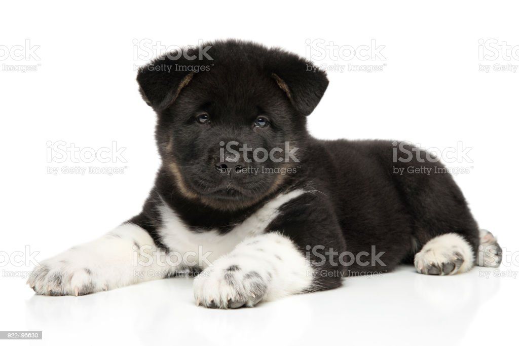 Cachorro Akita americano acostado - foto de stock
