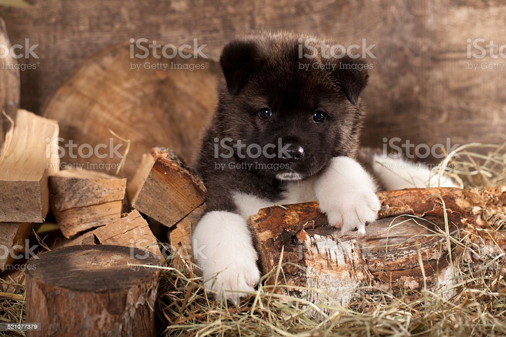 american akita puppy stock photo