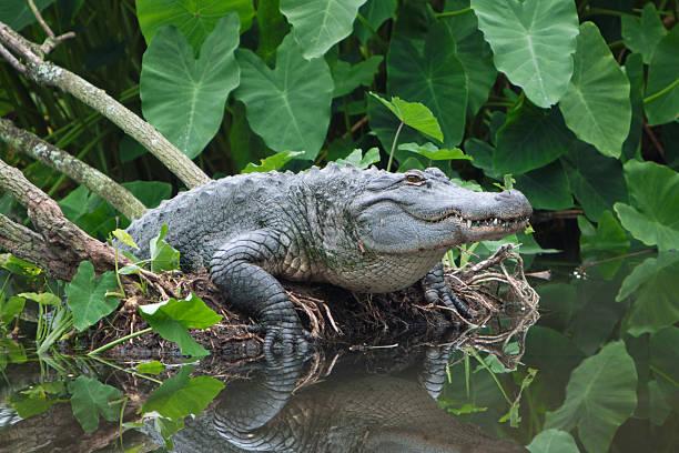 American Alligator aufstrebenden von Florida - – Foto