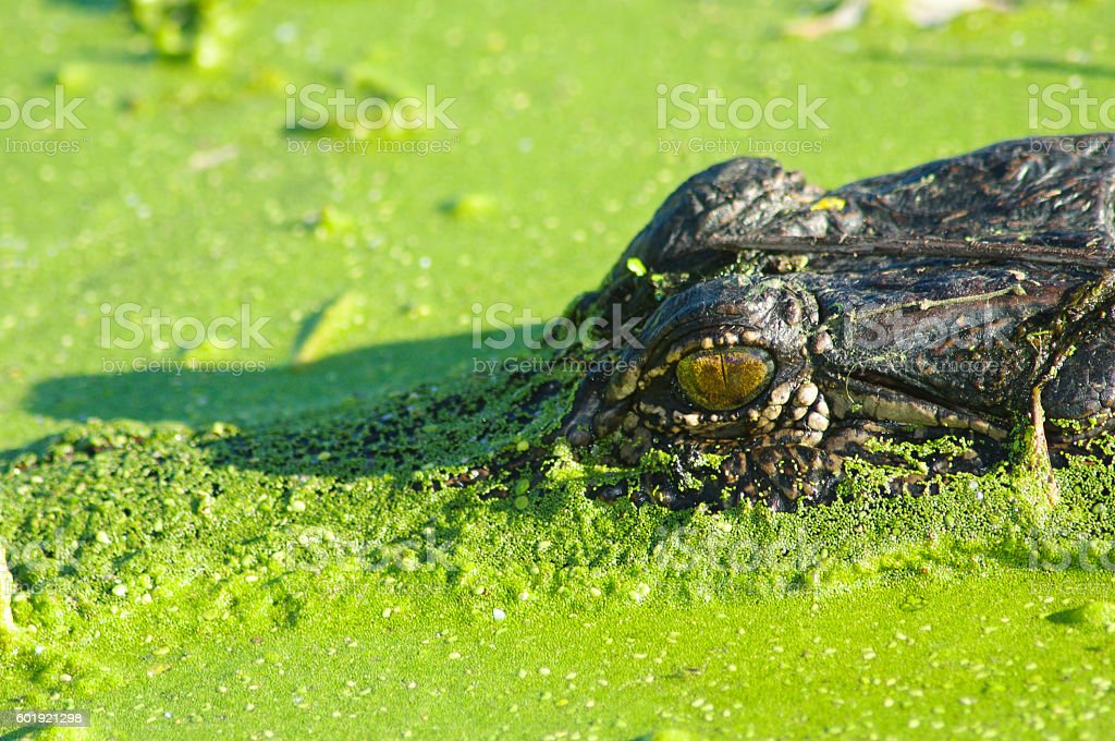 American Alligator in Duckweed stock photo