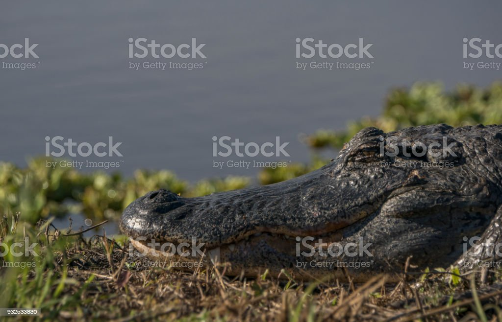 American Alligator in Lake Apopka near Orlando in Central Florida stock photo