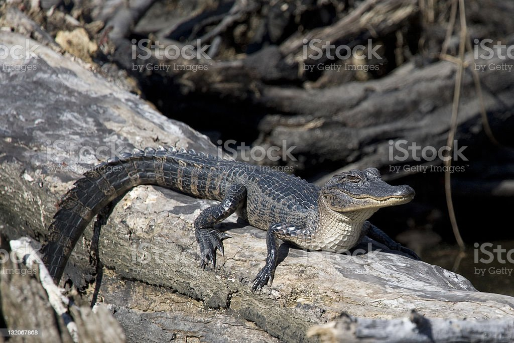 American Alligator in the bayous of New Orleans stock photo