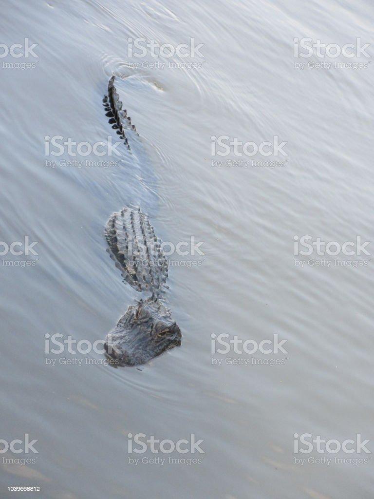American Alligator lurking in swamp stock photo