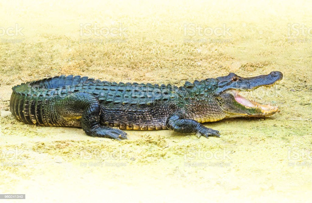 American alligator (Alligator mississippiensis) outdoors in Florida, USA. stock photo
