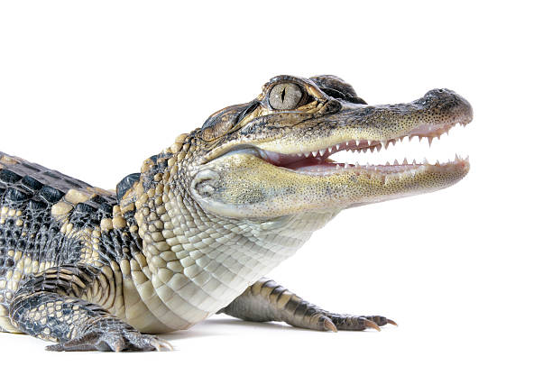 Alligator américain - Photo