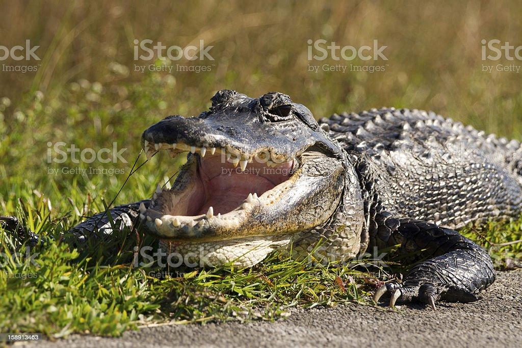 American alligator royalty-free stock photo
