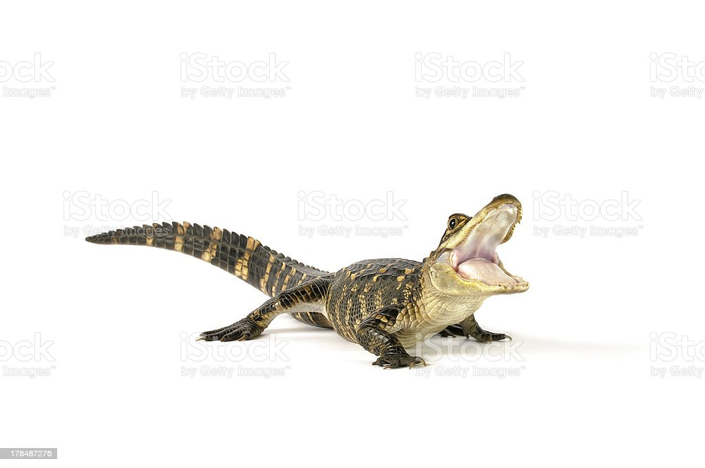 American Alligator stock photo