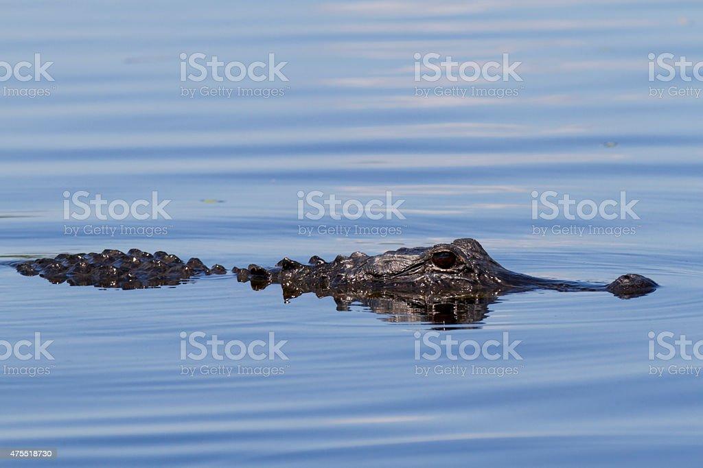 American Alligator stock photo