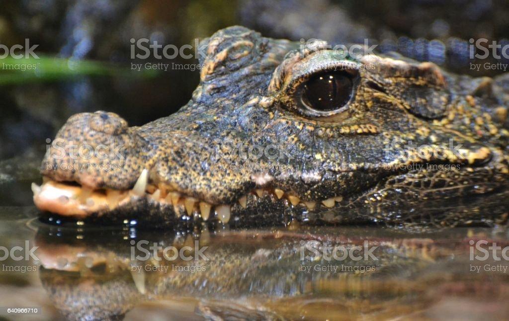 American alligator (Alligator mississippiensis) stock photo