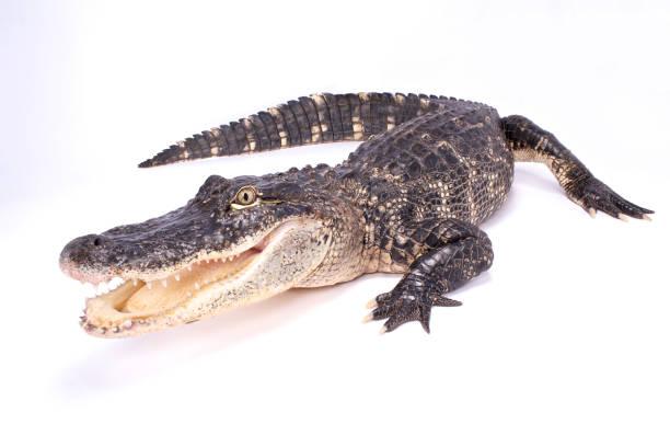 Alligator d'Amérique (Alligator mississippiensis) - Photo