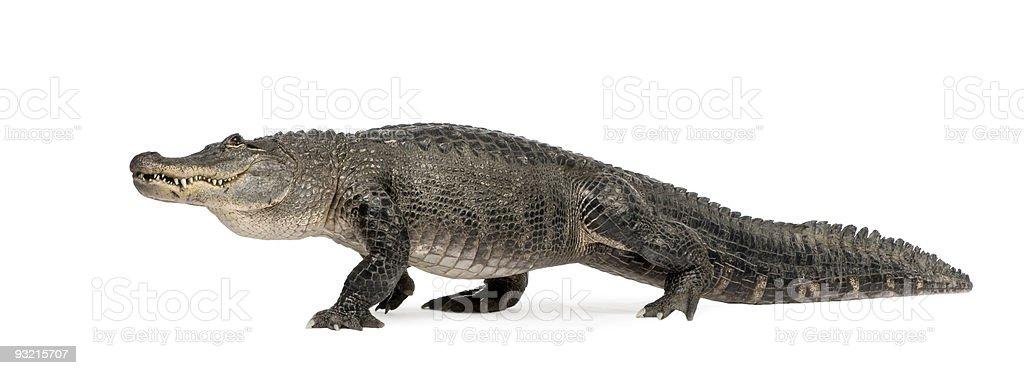 American Alligator (30 years) royalty-free stock photo