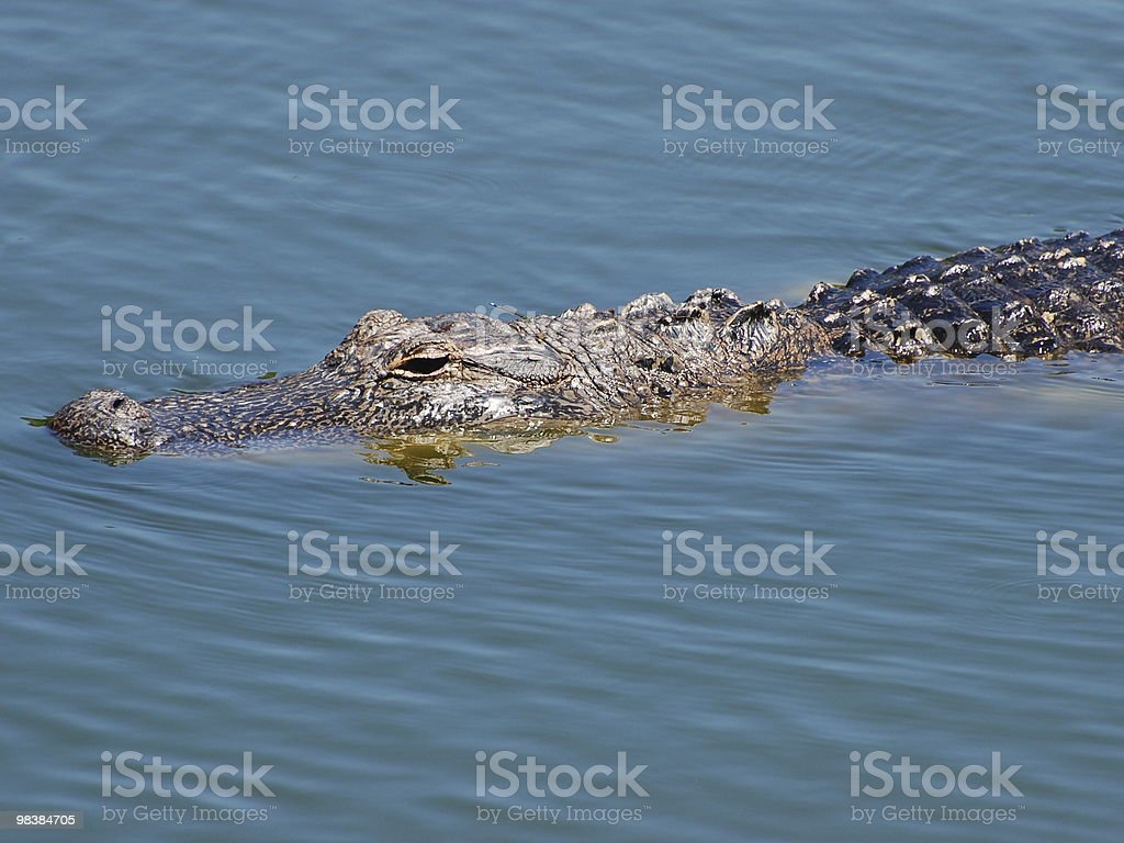 Alligatore americano foto stock royalty-free