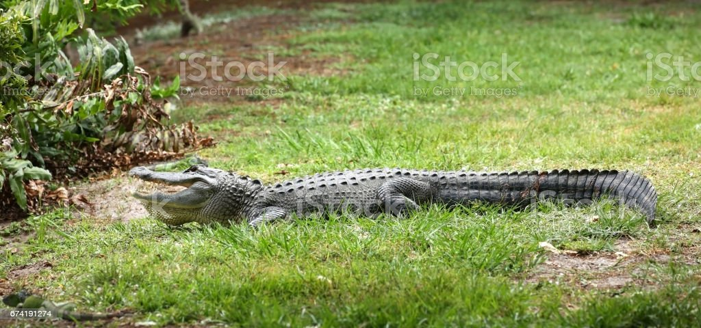 American alligator recuperating after fighting with another alligator stock photo
