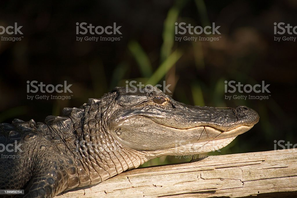 American Alligator sunning on a log stock photo