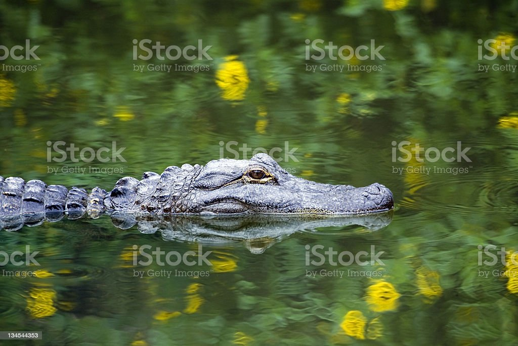 American Alligator Swimming in Everglades royalty-free stock photo