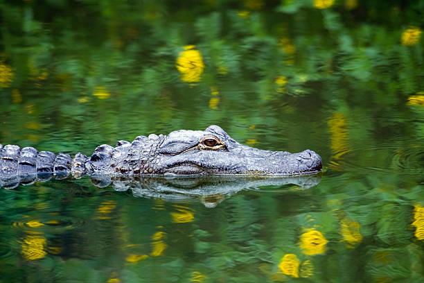 Alligator américain de la piscine dans les Everglades - Photo
