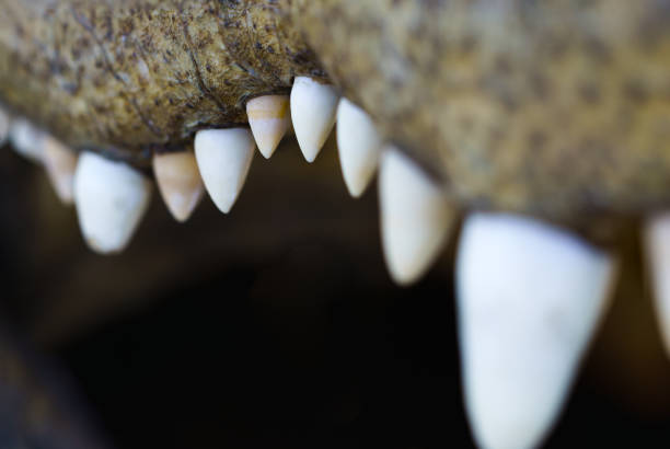 american alligator teeth mouth detail - carnivora stock photos and pictures