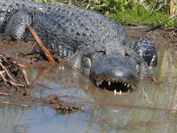 American alligator with focus on teeth stock photo