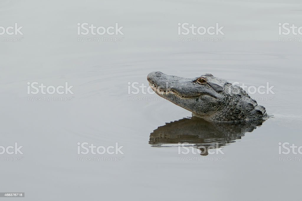 American Alligator with head raised in lake. stock photo