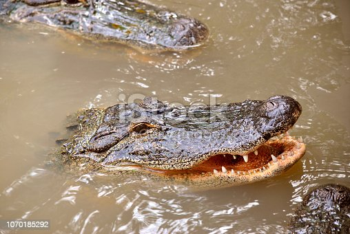 Close up view of an American alligator Latin name alligator mississippiensis with mouth open