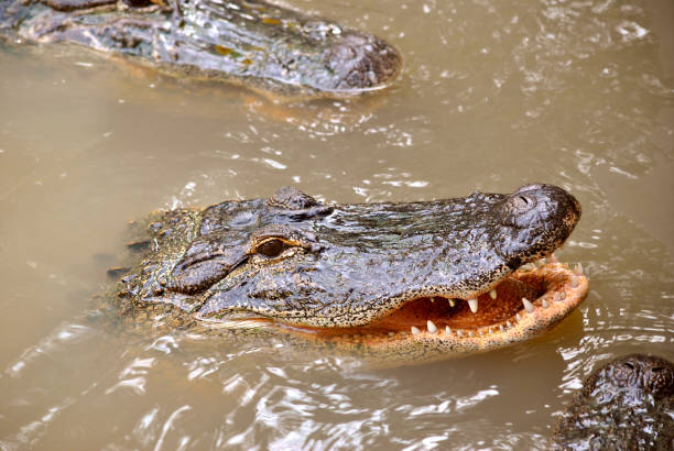 american alligator with mouth open - carnivora stock photos and pictures