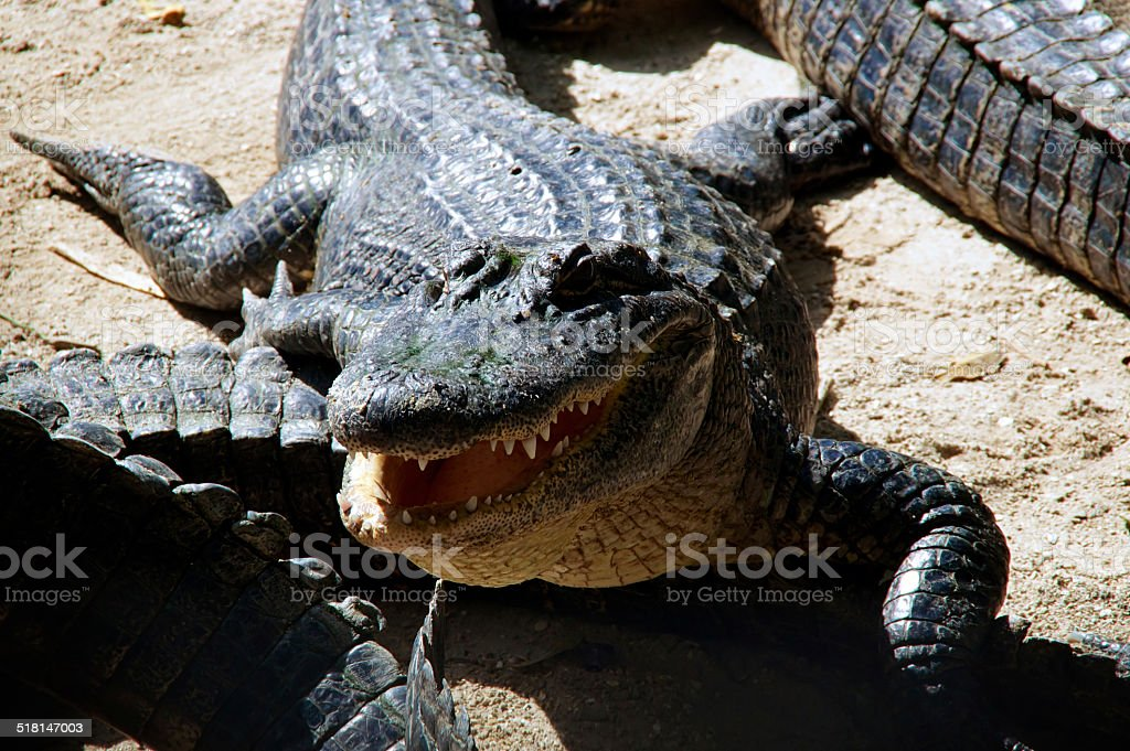 american alligator with mouth open stock photo