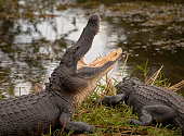 American Alligator with mouth wide open on grassy bank in Everglades National Park