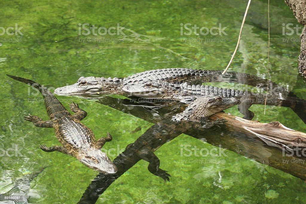 American Alligators stock photo
