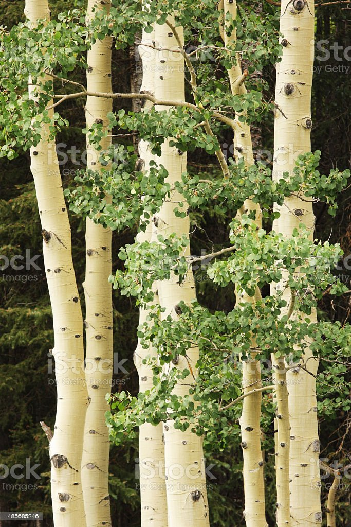American Aspen Tree Forest stock photo