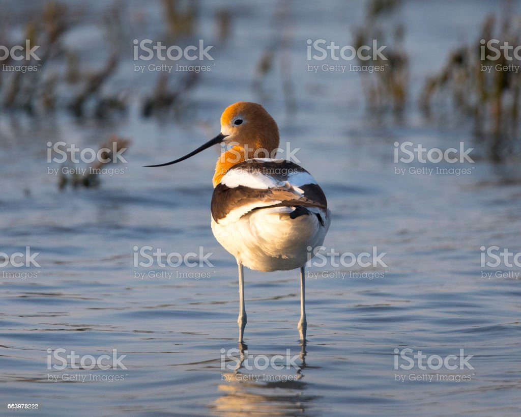 American avocet in a North California marsh, basking in the warm sunset light stock photo