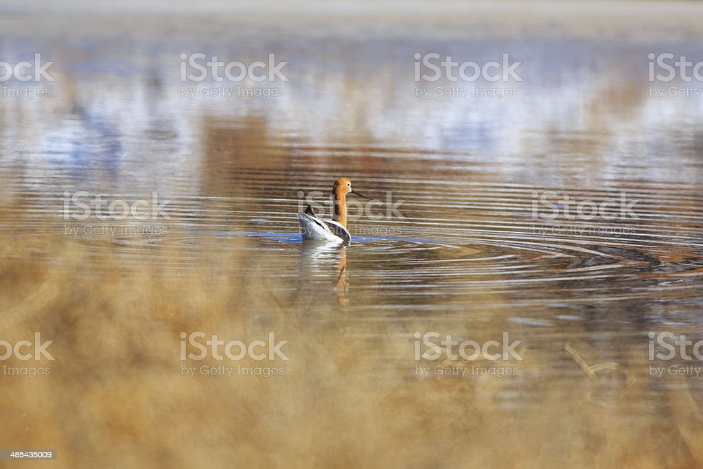 American Avocet in Arizona royalty-free stock photo