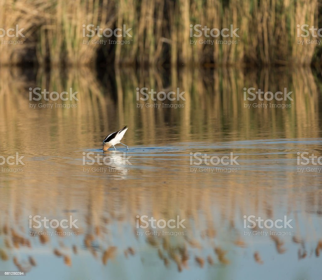 American Avocet royalty-free stock photo
