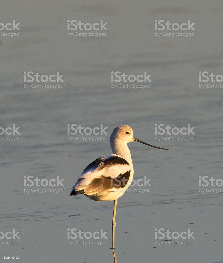American avocet standing on one leg stock photo