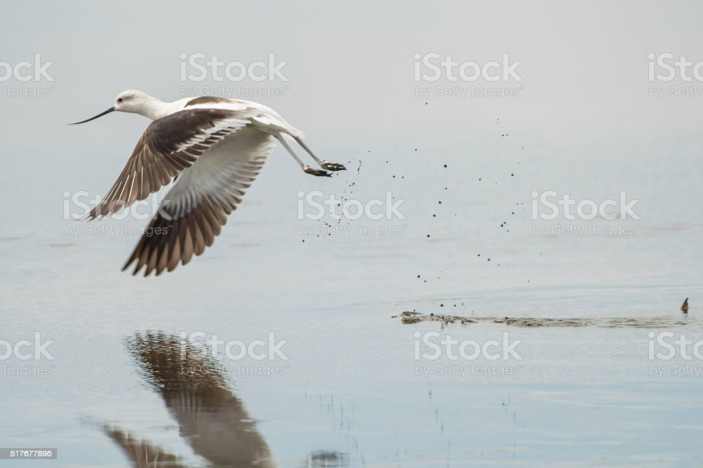 American Avocet taking off from a shallow pond stock photo