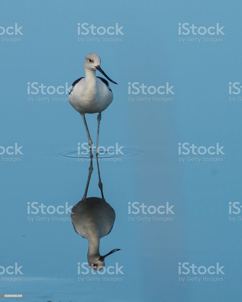 American Avocet with Blue Water Reflection stock photo