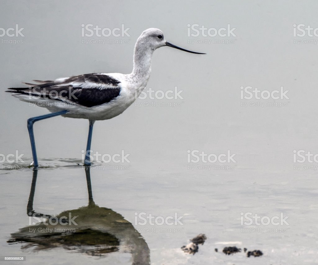 American Avocet, with reflection stock photo