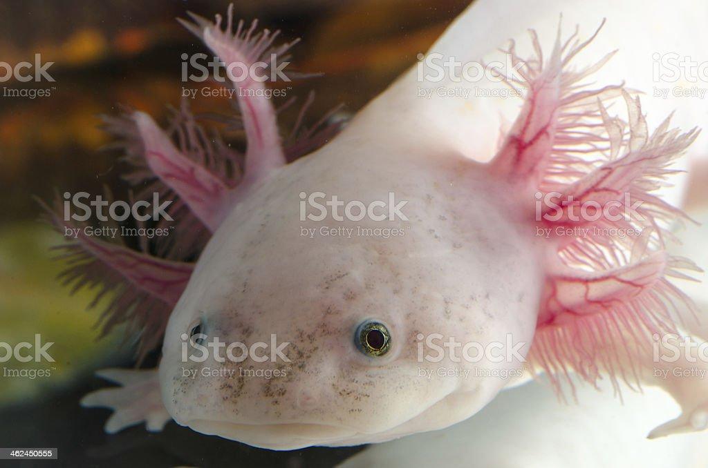 American Axoloto salamander newt stock photo