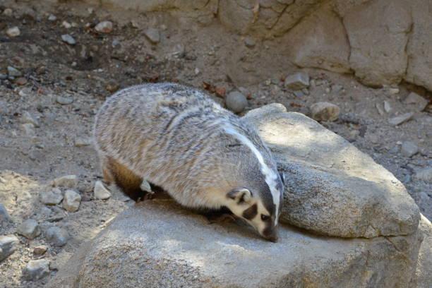 American Badger in einem Zoo – Foto