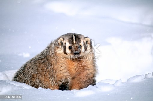 istock American Badger in Snow 1000151666